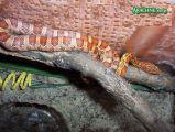 Wąż zbożowy (Elaphe guttata) Autor: Bull - Kamil Klimosz