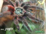 Avicularia versicolor (Ptasznik wielobarwny) Autor: mr_JUZIK_